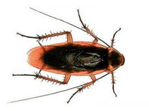 Cucaracha americana (Periplaneta americana)