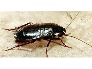 Cucaracha oriental (Blatta orientalis)