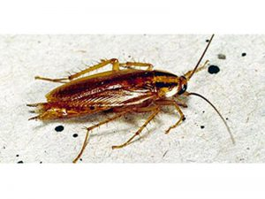 Cucaracha rubia (Blatella germánica):