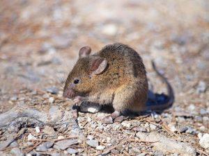 Ratón común (Mus musculus)