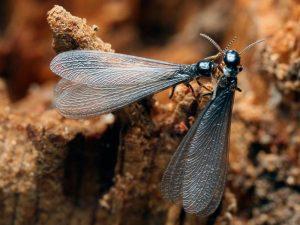 Termitas reproductoras